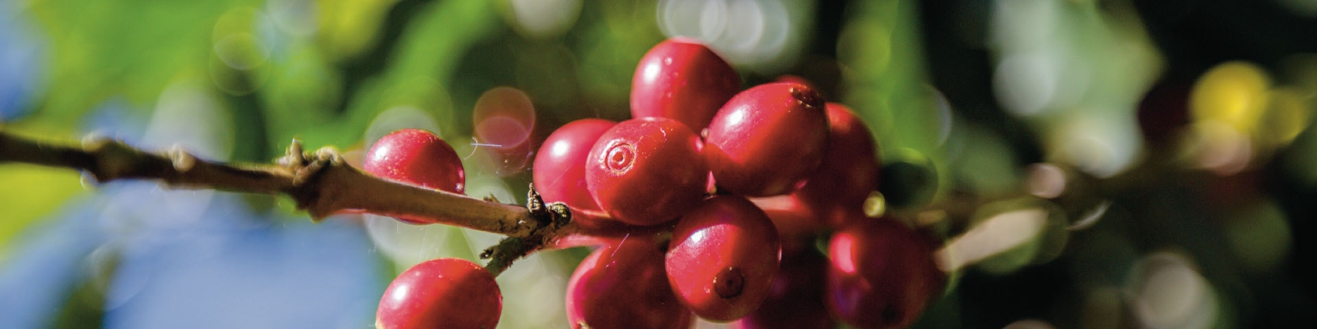 Sustainably-grown-coffee-beans-Nespresso-Professional